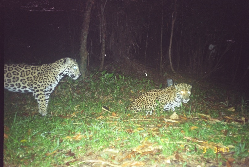 Two Jaguars crouched in the grass at night